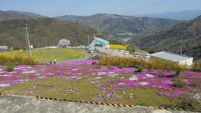 広棚の芝桜21.jpg
